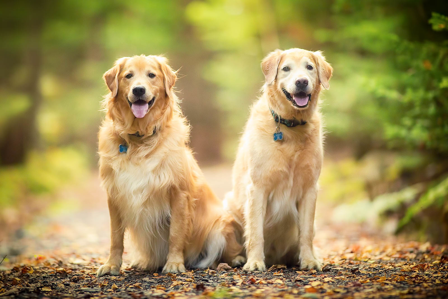 two golden retrievers sitting in trail