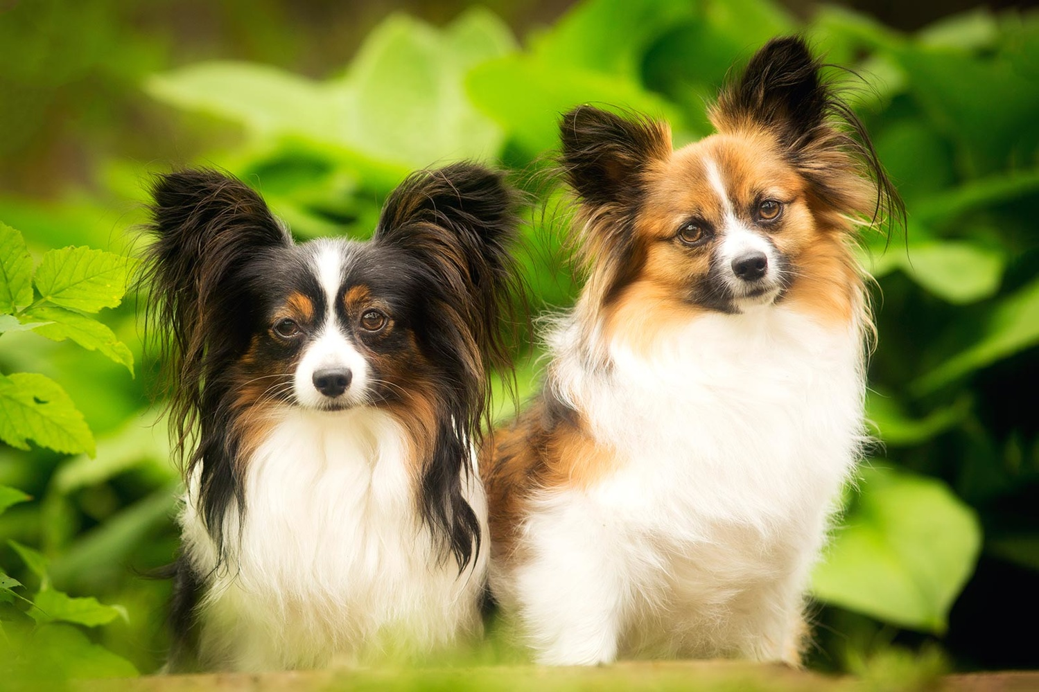 two papillons