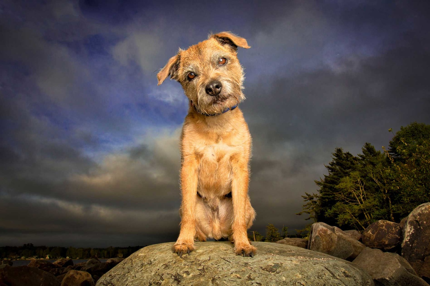 border terrier on rock