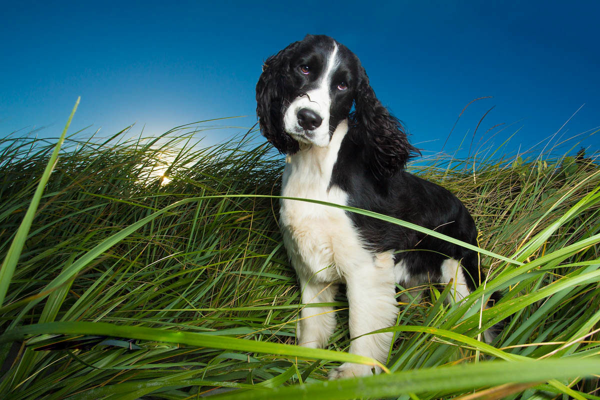 springer spaniel in grass