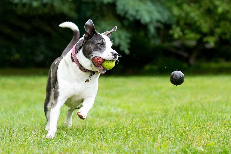 pit bull chasing balls in grass