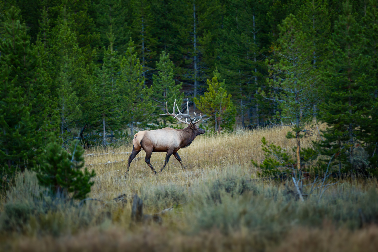 mid range shot of an elk in yellowstone national park