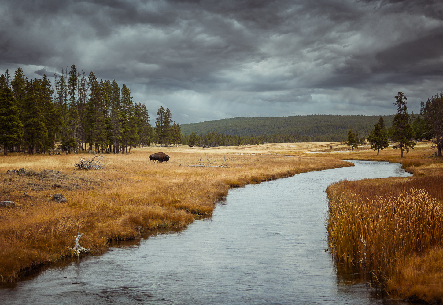 long shot of a buffalo crossing a field in yellowstone national park