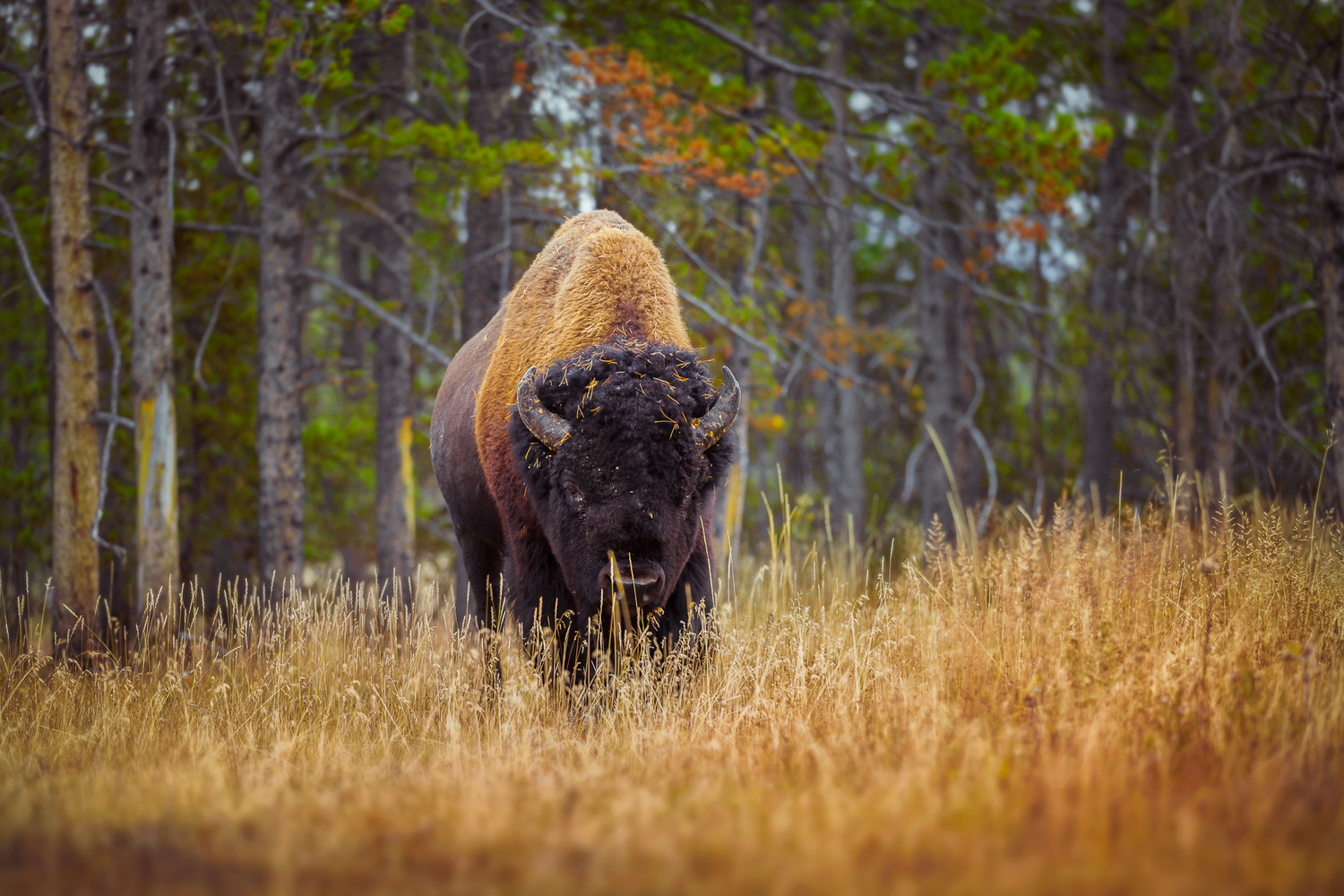 close up shot of a buffalo in yellowstone national park
