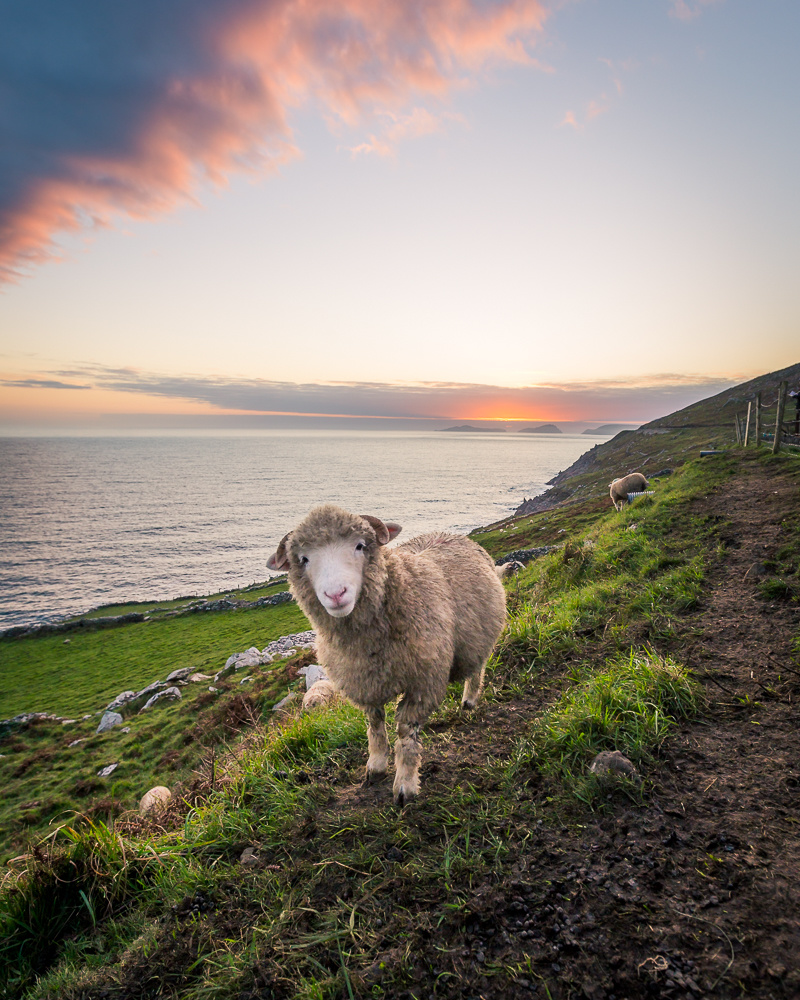 Sheep on a hill in the west of Ireland. Sunset near Dingle, County Kerry.