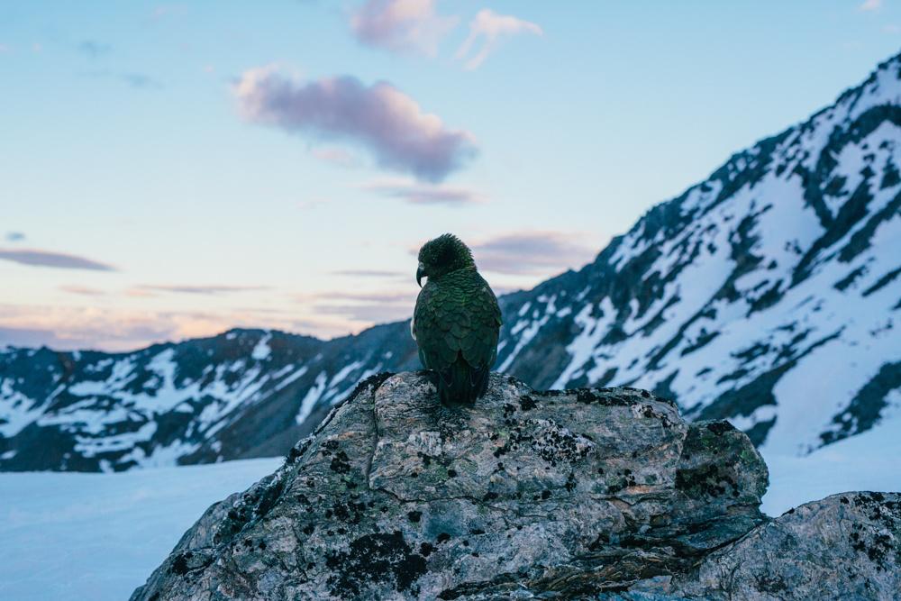 The Native Kea Bird