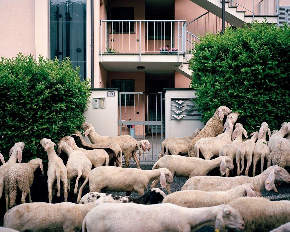 Stefano Carnelli, Italian shepherds, Transumanza