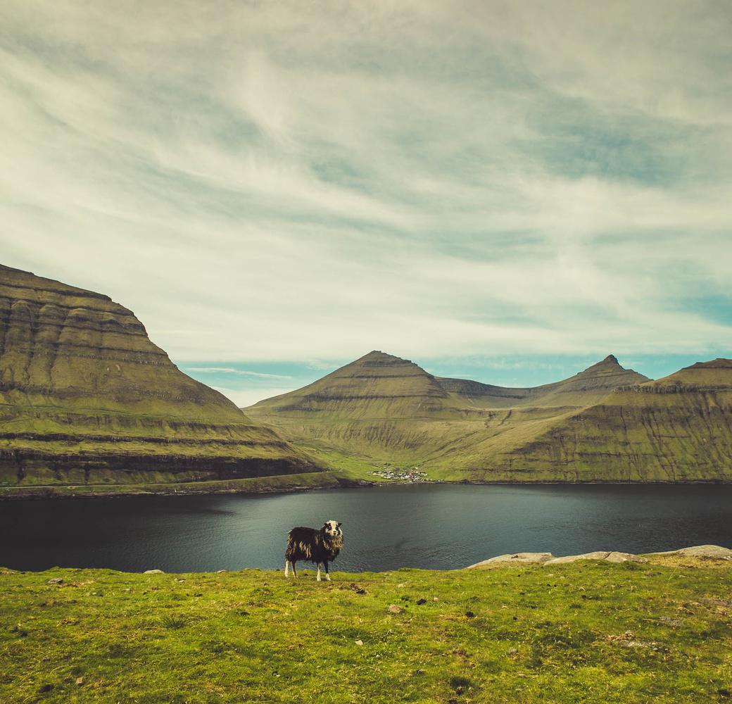Faroe Islands Sheep