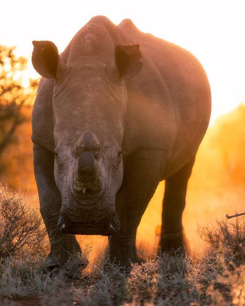 White Rhino stares down a photographer