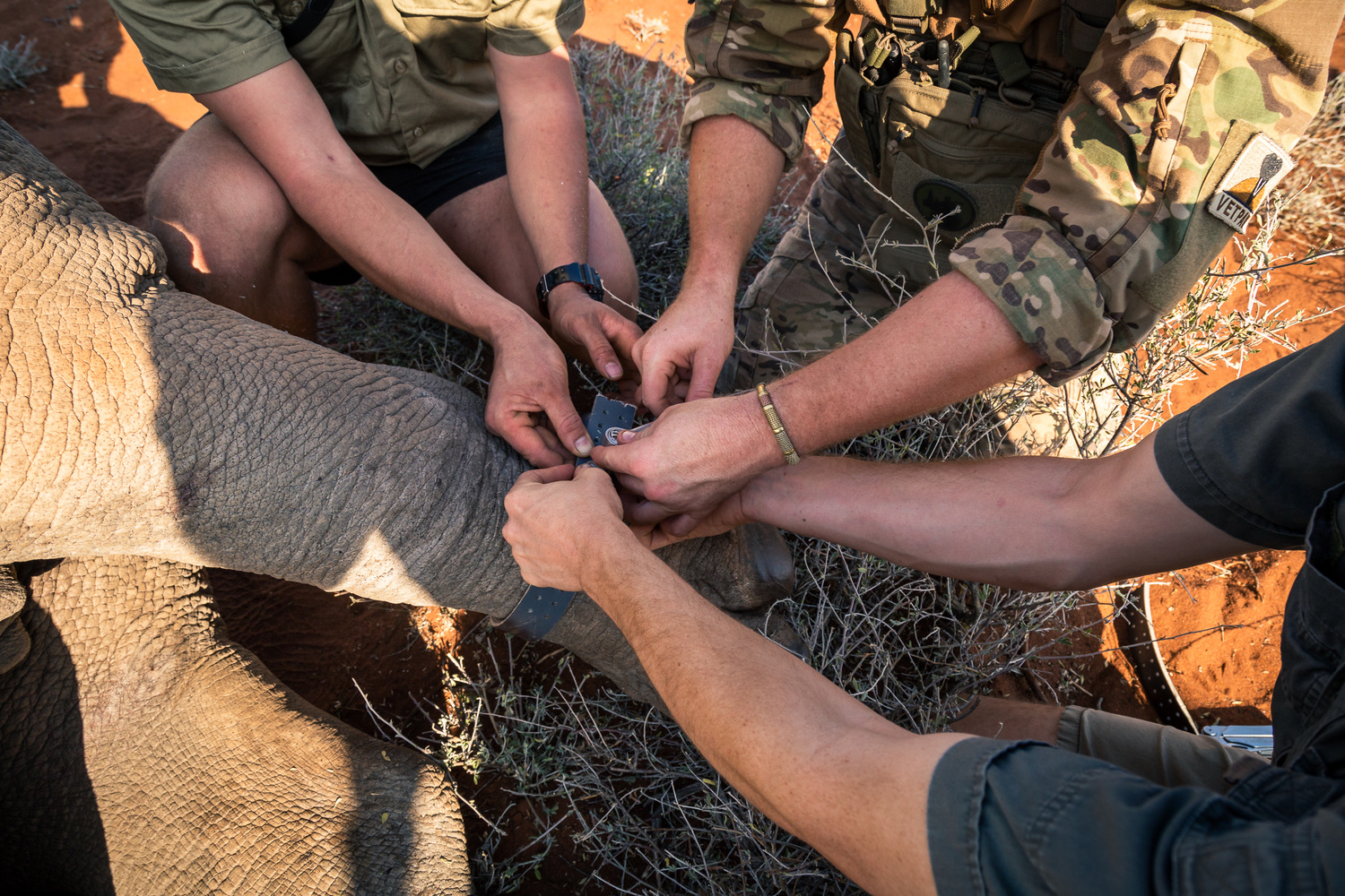Three people collaring a White Rhino in South Africa