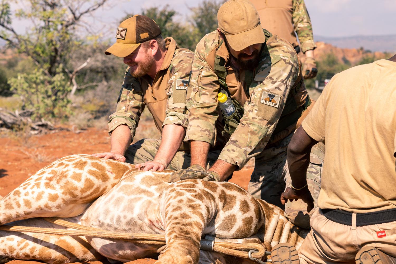 Military Veterans hold down a giraffe