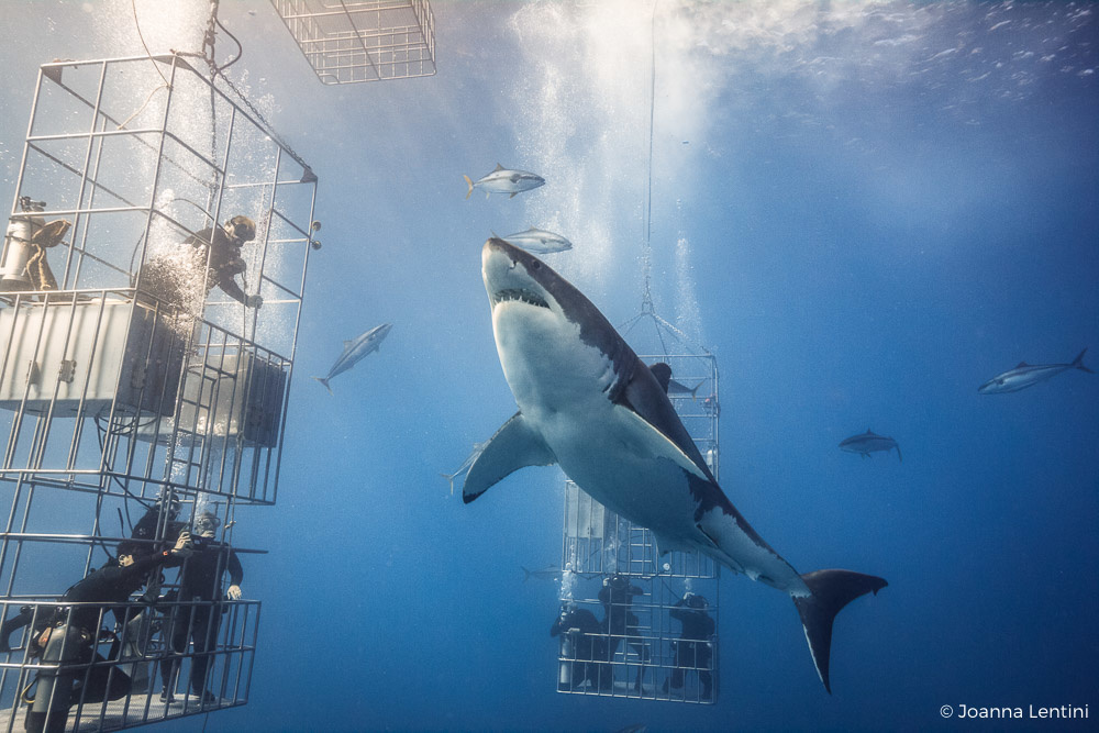 nautilus liveaboards, nauticam, photographing sharks, guadalupe, mexico, great white sharks, cage diving