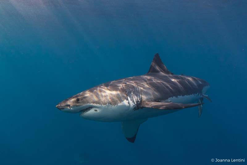 great white, white shark, sharks, photographing sharks, guadalupe, mexico, underwater photography