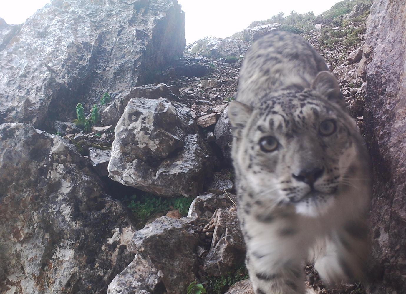 Elusive Snow Leopard Shoots Purrfect Selfies | Fstoppers