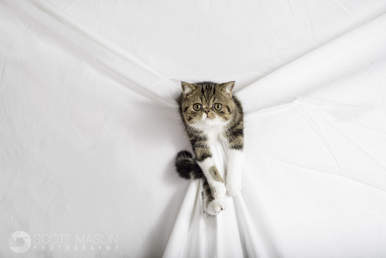 a studio photo of an exotic cat coming out of a white backdrop
