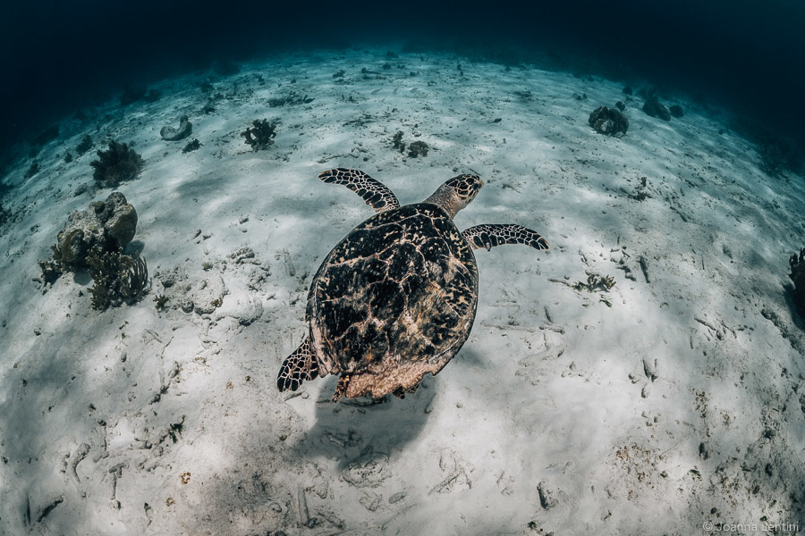 bonaire, underwater photography, Joanna Lentini, sea turtle