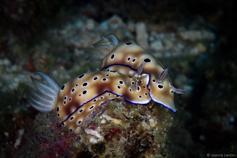 nudibranch, Joanna Lentini, underwater photography, macro photography, indonesia, muck diving