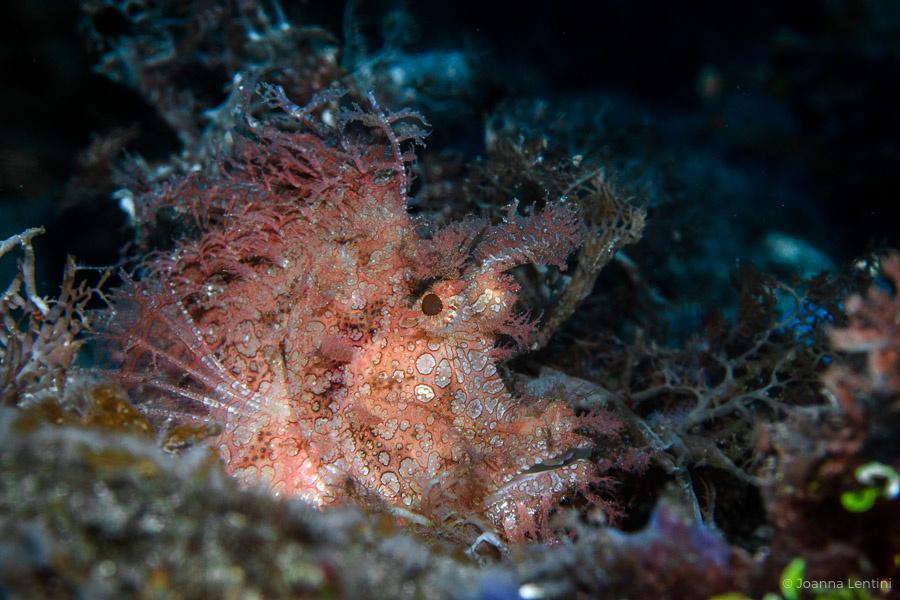 rhinopias, joanna lentini, muck diving, macro underwater photography