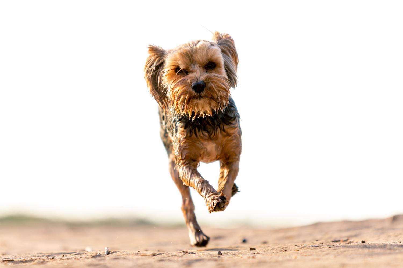 Small wet dog running towards the photographer.
