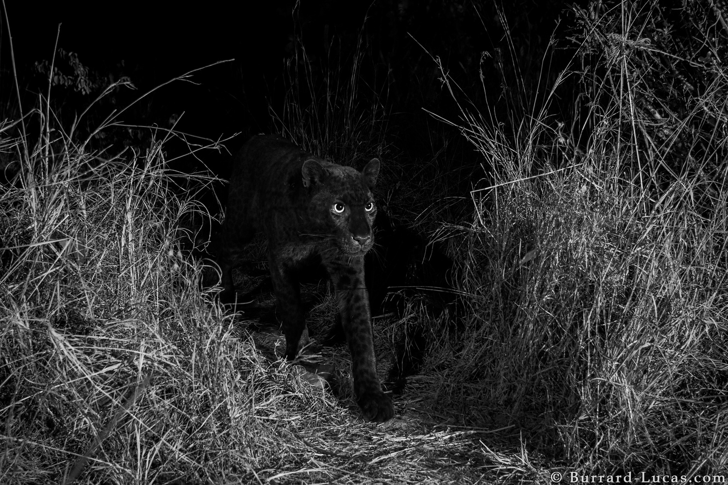 a black leopard emerging from a path at night