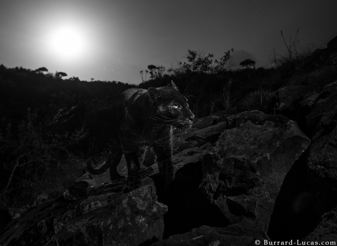 a black leopard on rocks with the moon lighting behind it