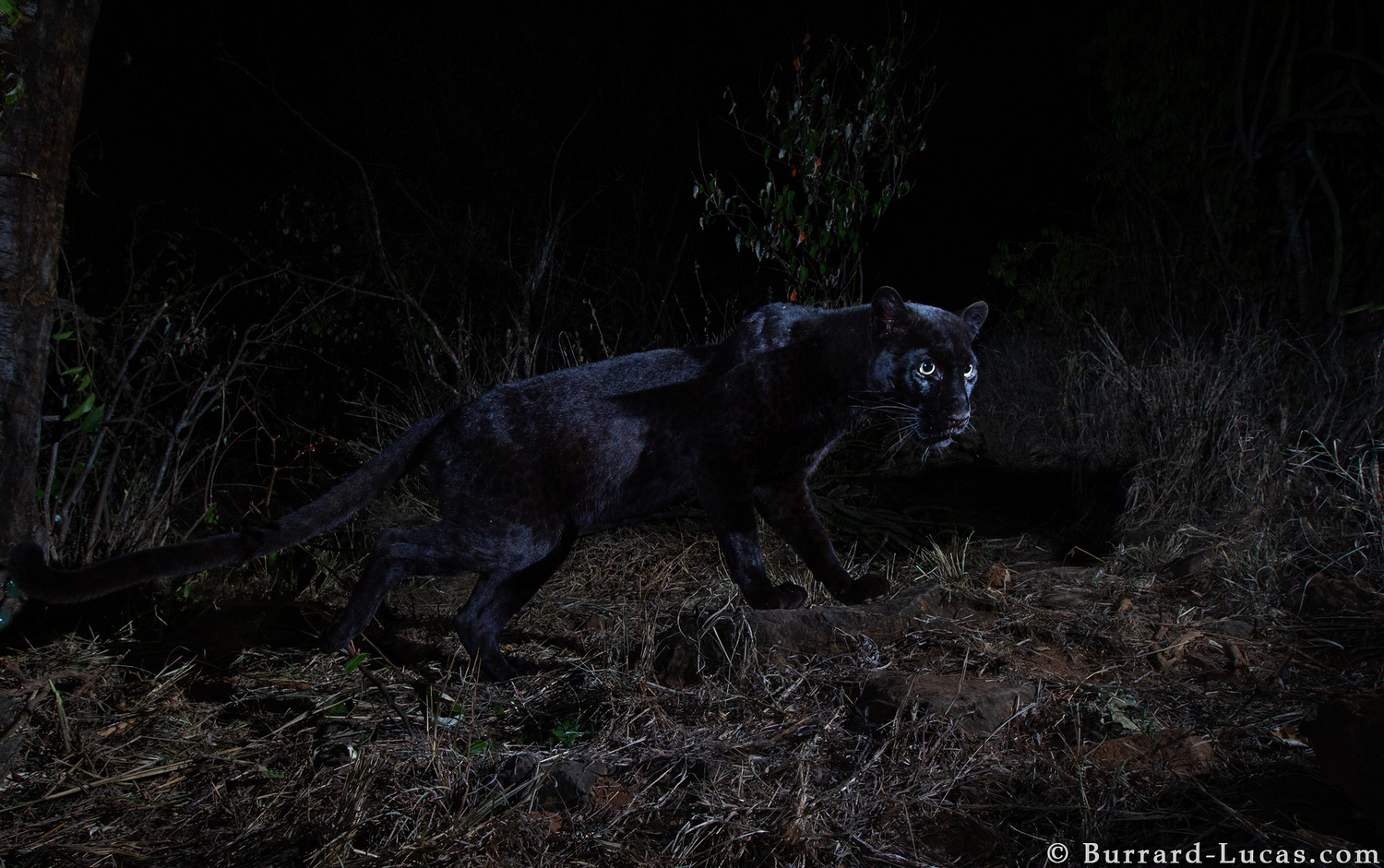 a black leopard slinking past the frame