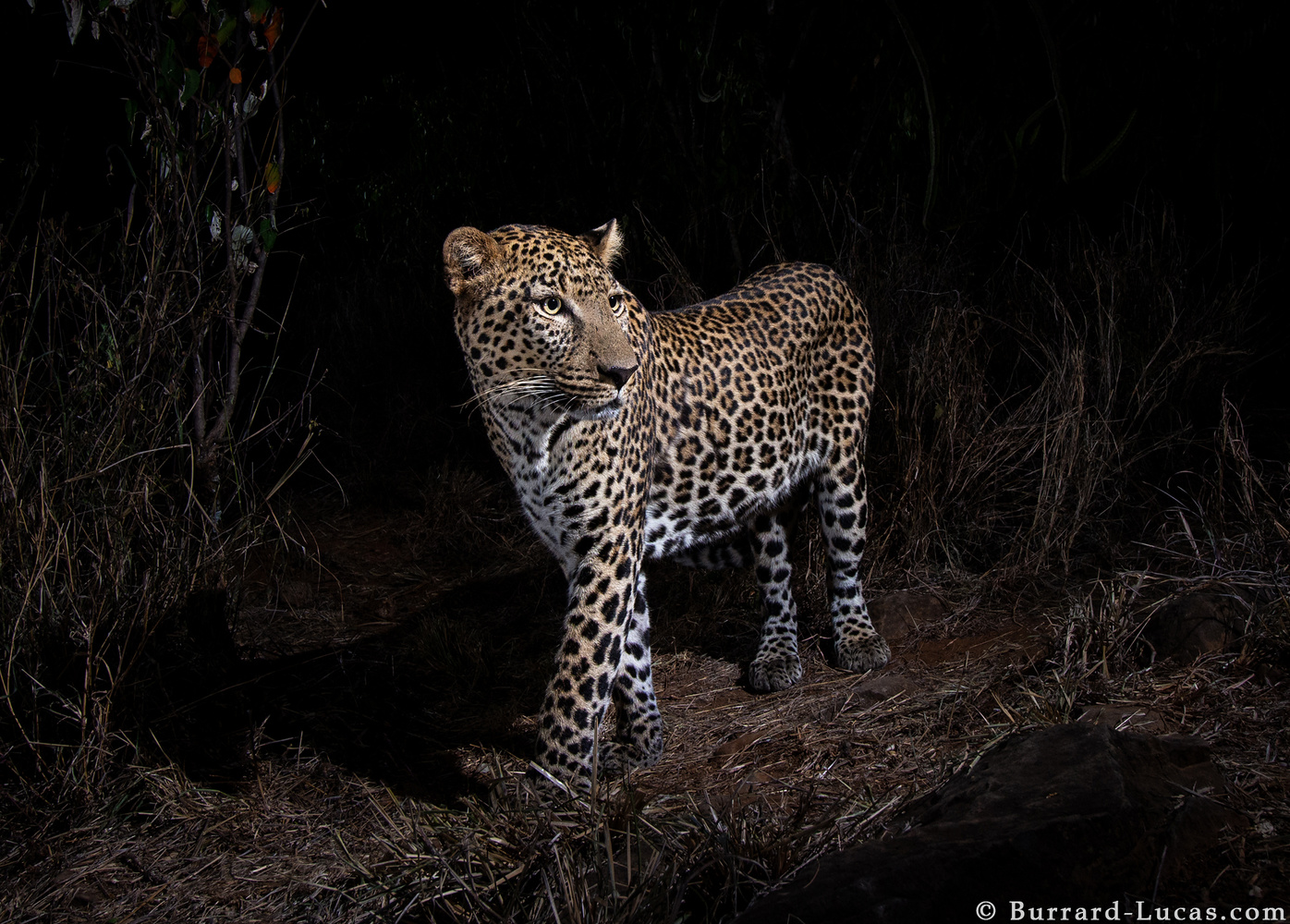 a large male leopard at night
