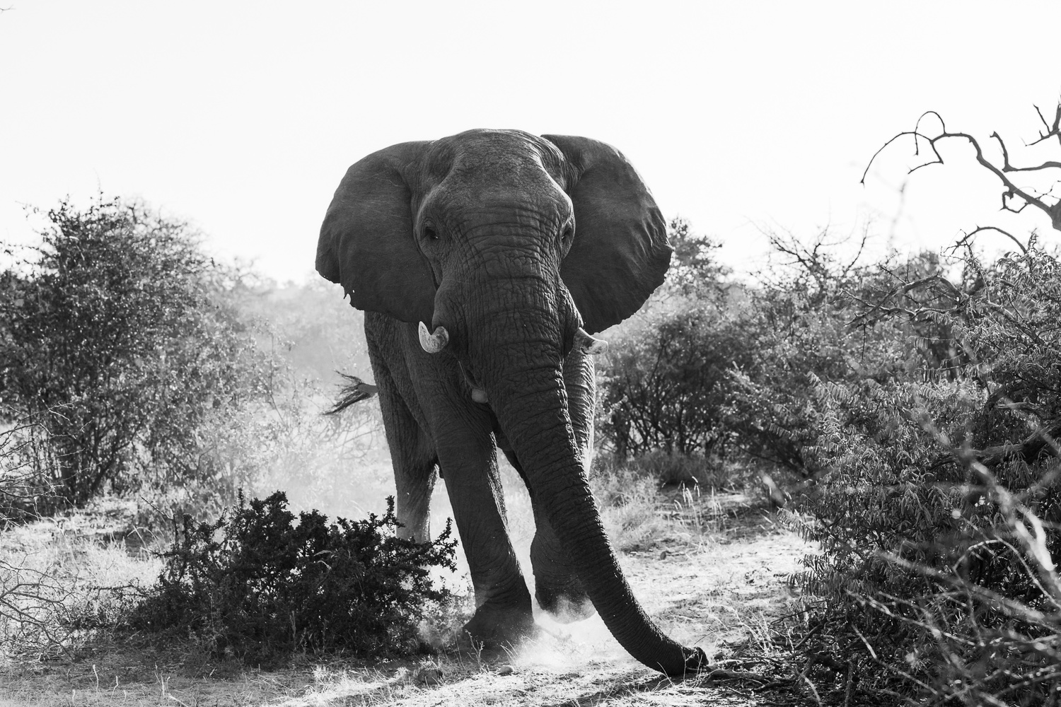 Black and white photo of a wild elephant charging the camera