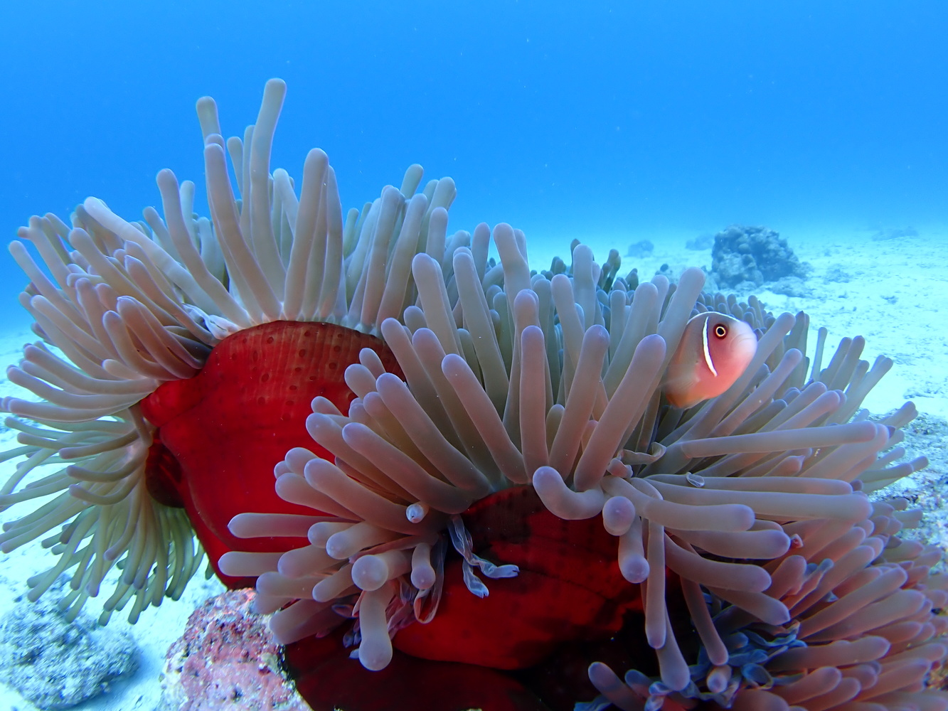 an underwater photo showing a sea anenome and fish
