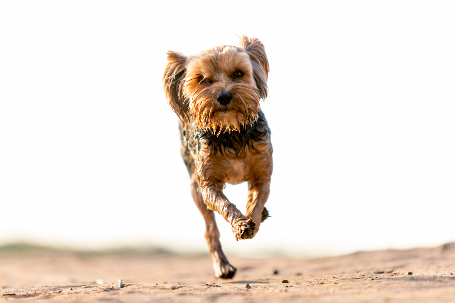 Small Yorkshire Terrier running towards the camera. Shot at a low angle.