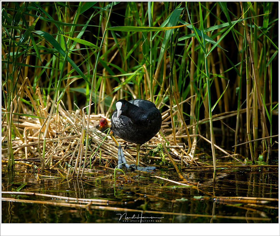 A Eurasian coot next to its nest. I could stay at a respectable safe distance, not disturbing anything, thanks to the long focal length. As a matter of fact, I stood on a bicycle path on the opposite site of the canal. (EOS 1Dx + EF 800mm | ISO500 | f/6,3