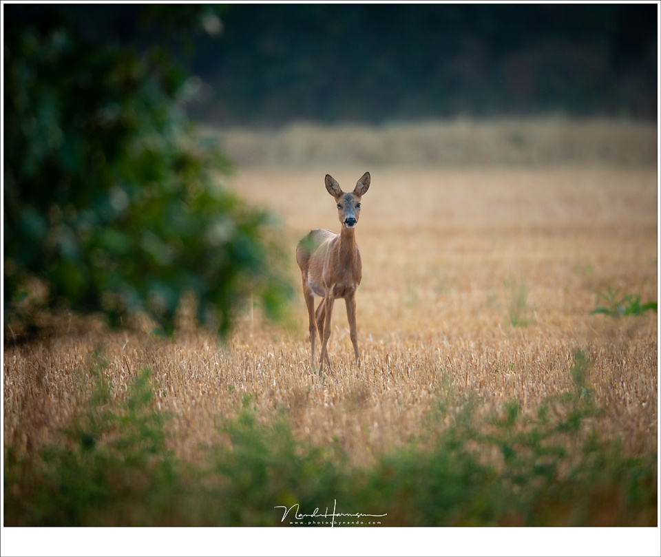 A roe deer, surprised to see someone with that ridiculous large white lens. I am quite sure I heard her laugh a bit. But I was able to capture her before the ran away. I used my tripod as a monopod for stability. (EOS 1Dx + EF 800mm | IS640 | f/5,6 | 1/12