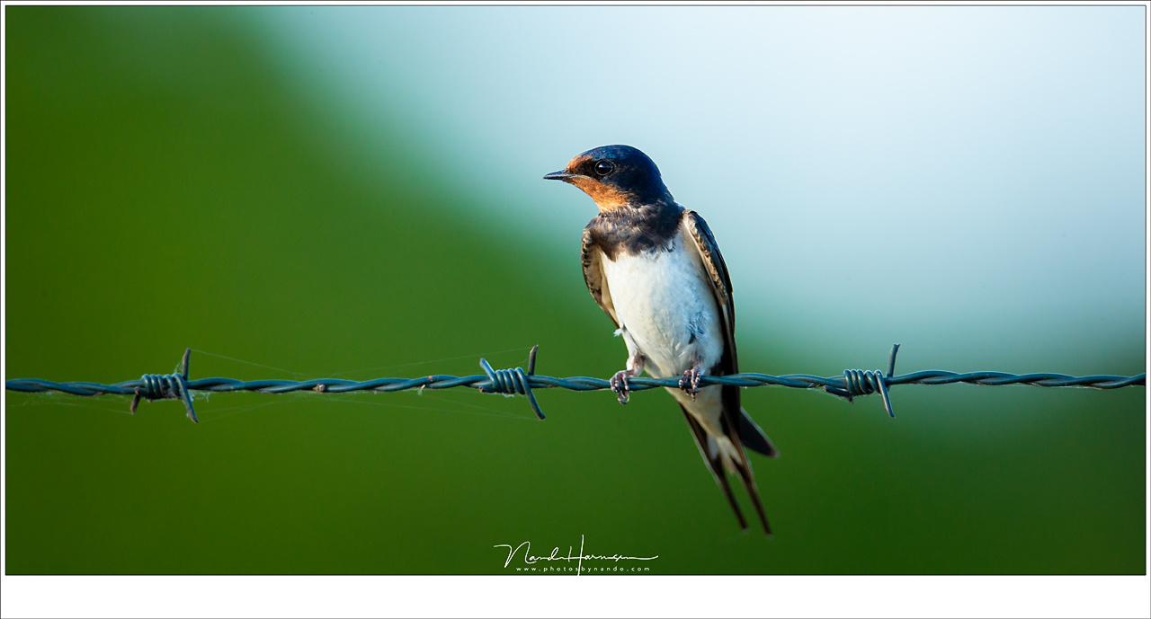This is at its closest focal distance, which is about 6 meters. I had to lean back because the little barn swallow was almost too close. I shot this beautiful bird from my car, with the lens on a bag (EOS 1Dx + Ef 800mm | ISO800 | f/5,6 | 1/640)