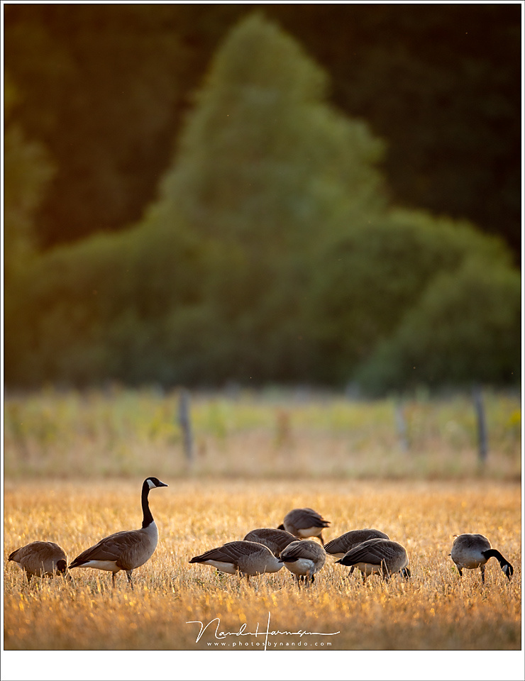 Canada geese foraging in a field in the golden light of sunset. The compression of the long focal length shows the far away trees in a beautiful perspective to the birds.(EOS 1Dx + EF 800mm | ISO640 | f/5,6 | 1/125)
