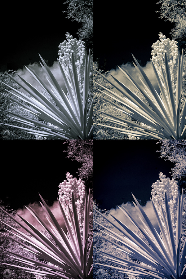 yucca plants in infrared