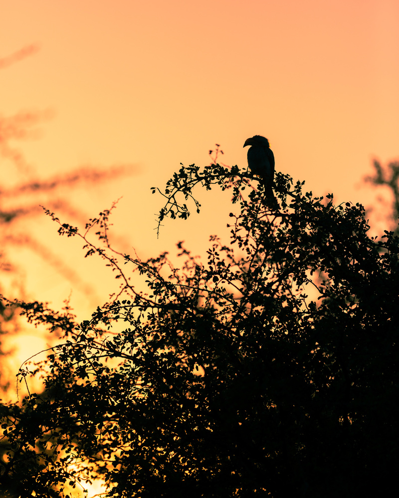silhouette of an African hornbill bird against a yellow and orange sunset