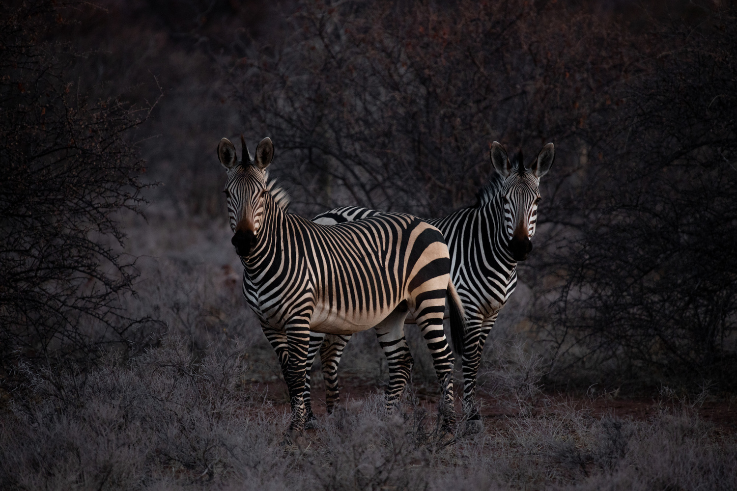 photo of zebras with basic color and contrast adjustments in lightroom