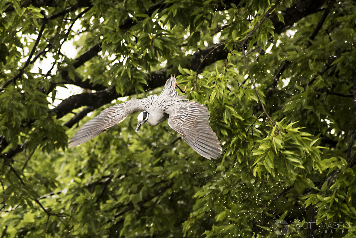 a night heron diving from a tree branch