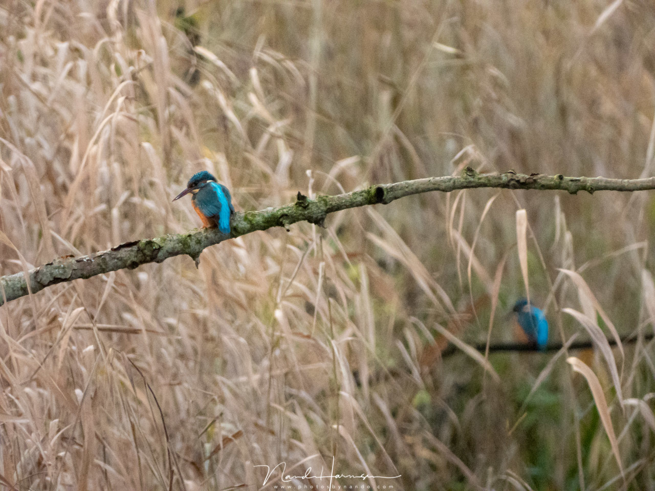 Two kingfisher birds at a creek nearby. Shot from a large distance using the maximum optical zoom capabilities of the Coolpix P1000. Unfortunately the high ISO level is ruining the quality. (3000mm (FF equivalent) - ISO1600 - f/8 - 1/100)