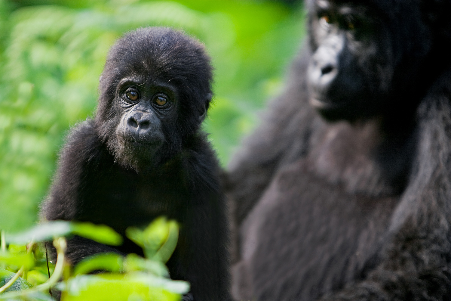 An infant mountain gorilla wanders from its mother.