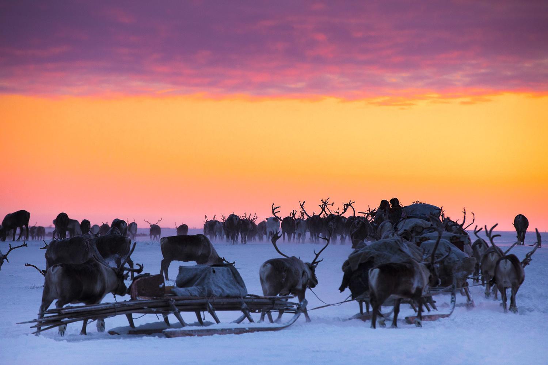 Nenets Reindeer Herders travel south