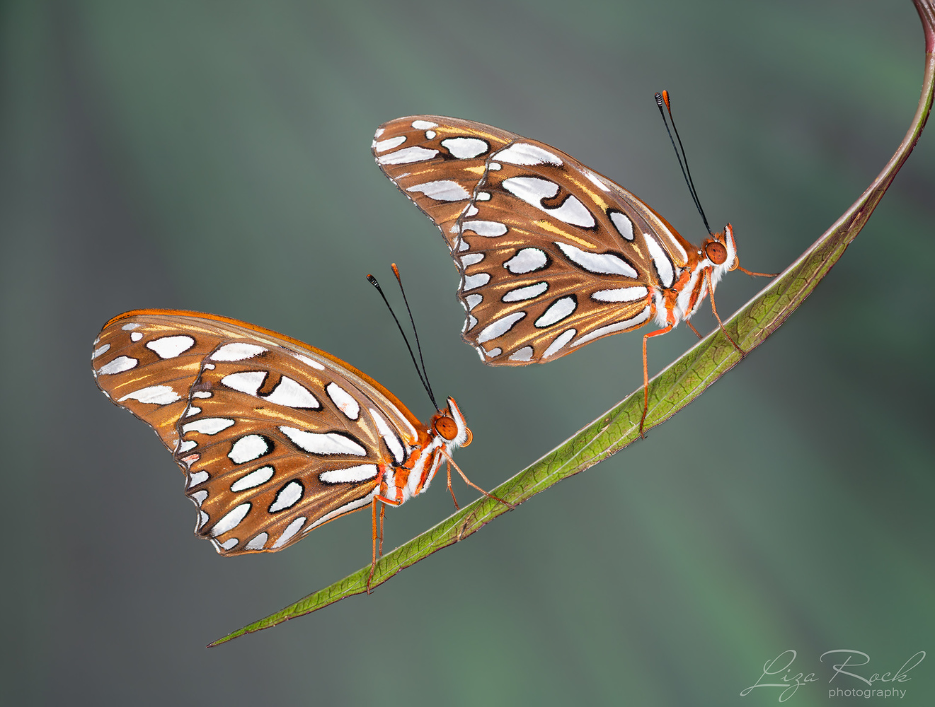 Butterfly Duo on Leaf - Photograph by Liza Rock