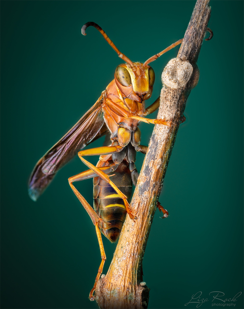 Wasp on a branch - Photograph by Liza Rock