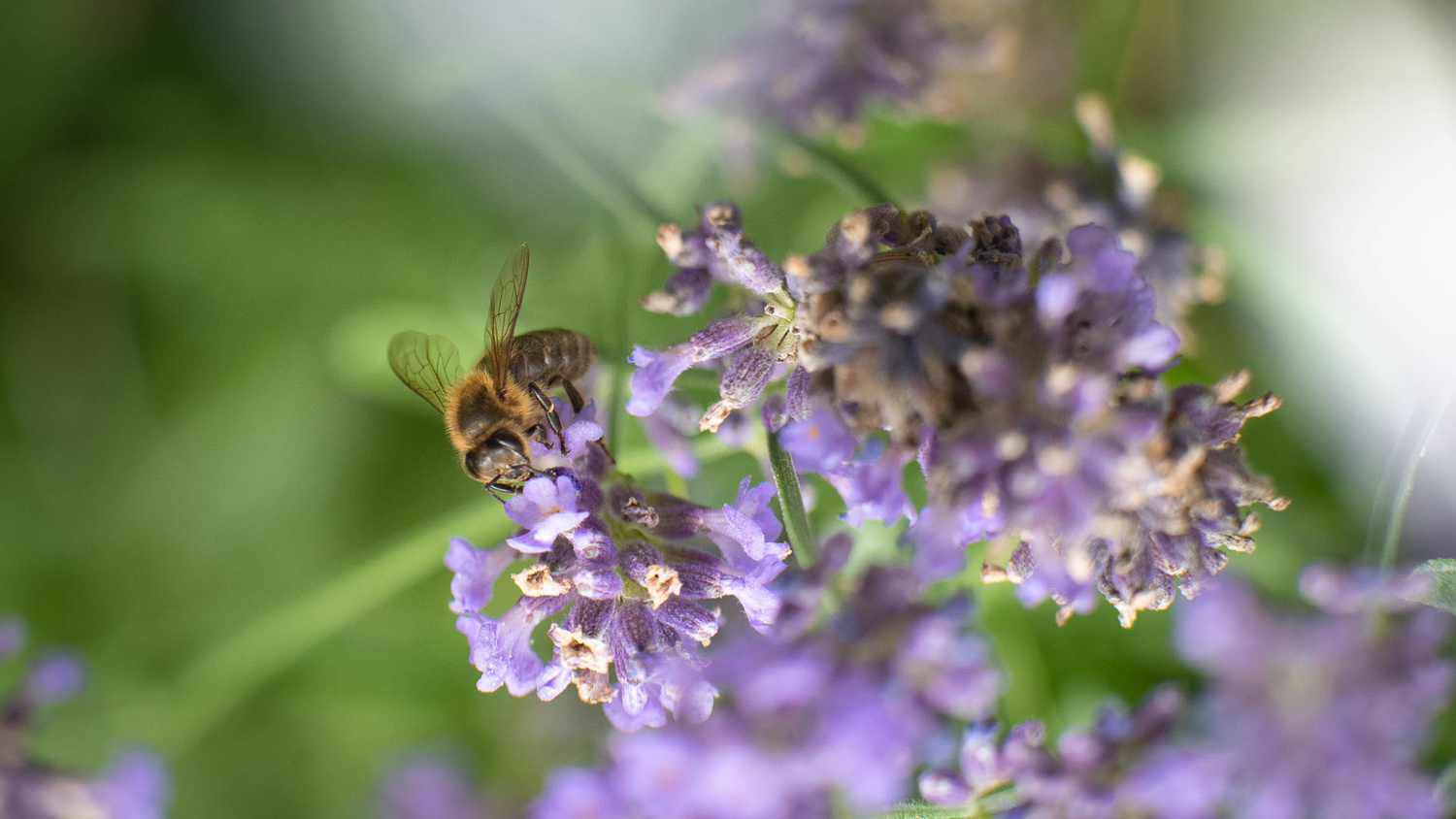 Honeybee searching for pollen on lavender