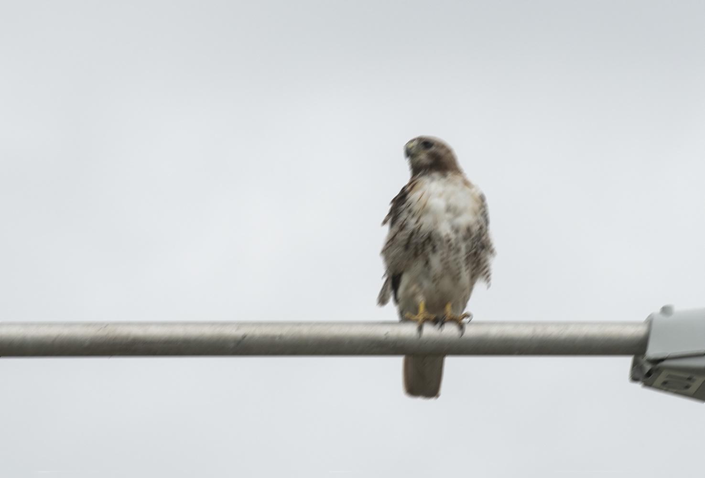 blurry image of a hawk on a lightpost
