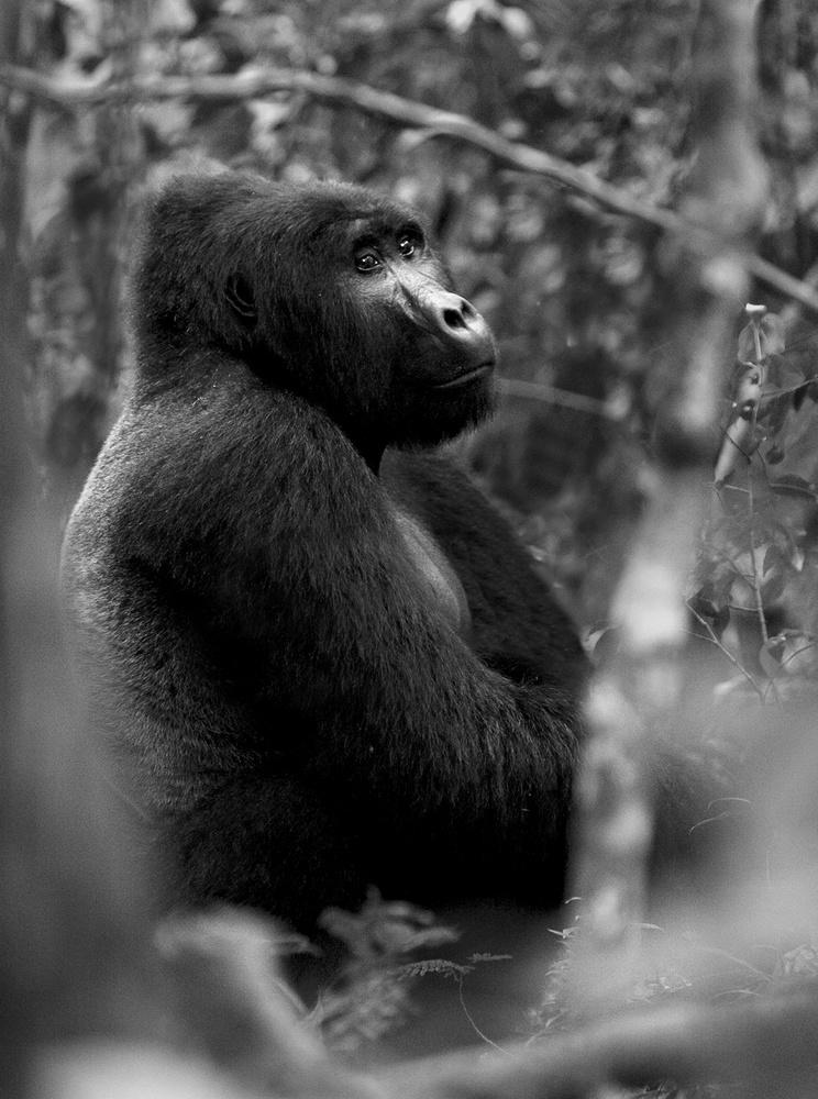 let us go photo mountain gorilla h group silverback 0