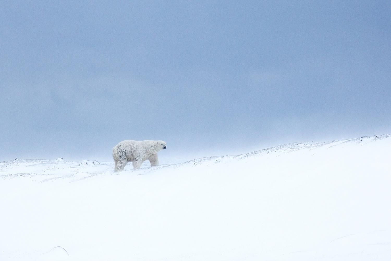 let us go photo travel photography churchill polar bear blue