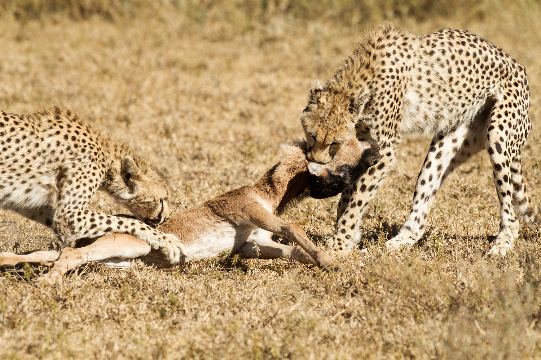 let us go photo travel photography tanzania ndutu cheetah hunt