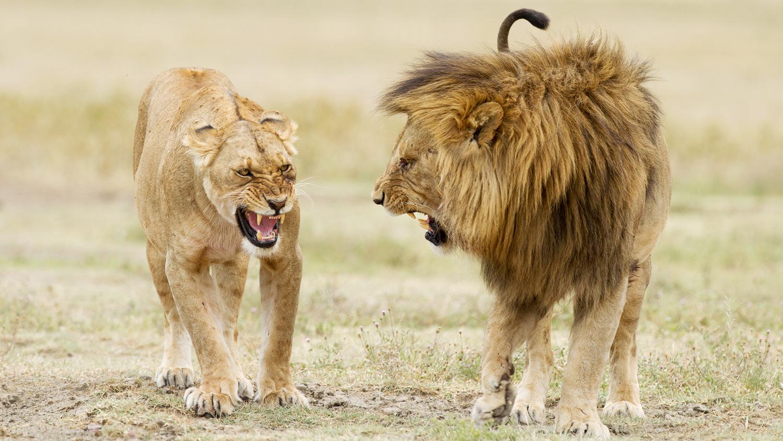 let us go photo travel photography tanzania ngorongoro crater lion love