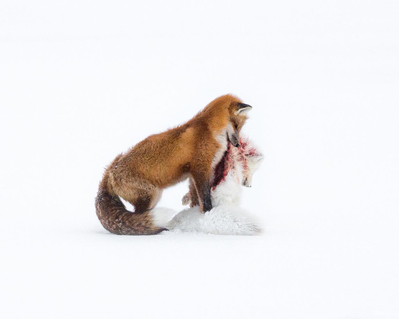 let us go photo travel wildlife photography churchill arctic fox verus red fox 2 2